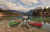 Reindeer in Emerald Lake — Stock Photo