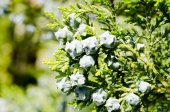 Green cypress tree — Stock Photo