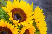 Sunflower Cluster — Stock Photo