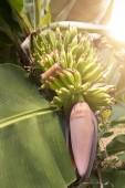 Banana trunk with sun rays — Stock Photo