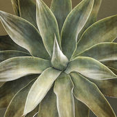 Agave attenuata plant, closeup — Stock Photo