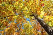 Albero autunno — Foto Stock