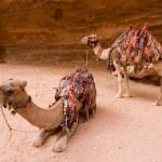 Dromedary in Petra Jordan — Stock Photo #66064293