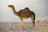 Dromedary in the desert — Stock Photo