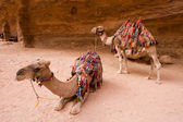 Dromedary in Petra Jordan — Stock Photo