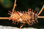Caterpillar  golden birdwing — Stock Photo