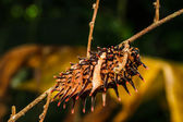 Caterpillar  golden birdwing — Stockfoto