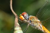 Dragonfly on leaf — Stock Photo