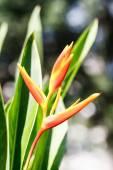 Canna çiçekflor de caña — Stok fotoğraf
