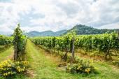 Vineyard in thailand — Stock Photo