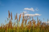 Grass flowers with sky background. — Stock Photo