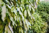 Mango leaf background — Stock Photo