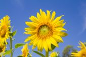 Sun flower in garden — Stock Photo