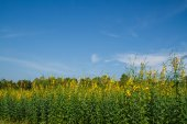 Crotalaria field — Stock Photo