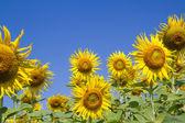 Sun flower in garden — Stock Photo