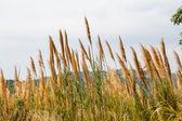 Grass flowers — Stock Photo