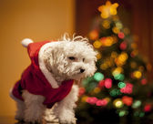 Santa poodle with christmas tree — Stock Photo