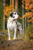 Great dane in the autumn forest — Stock Photo