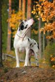 Great dane in the autumn forest — Stockfoto