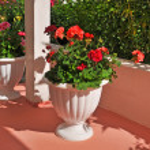 Red Geranium in a flowerpot — Stock Photo #79279484