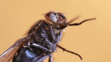 Housefly magnification — Stock Video