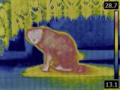 Cat Thermogram — Stock Photo
