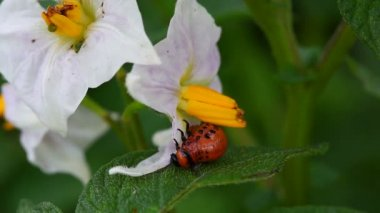 Colorado Potato Beetle Larva — Stock Video