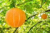 Young Pumpkin in the garden — Stock Photo
