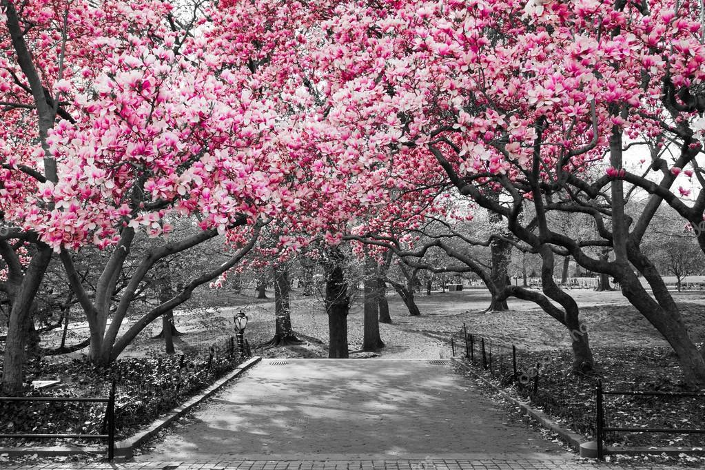 New York City - Pink Blossoms in Black and White — Stock ...