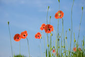 Beautiful red poppies in a meadow — Stock Photo