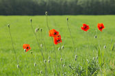 Red poppies in a meadow — Stock Photo