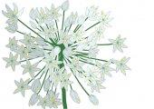 Allium on white — Stock Vector