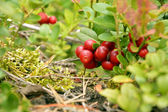 Cowberry bacche — Foto Stock