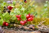 Cowberry berries — Stock Photo