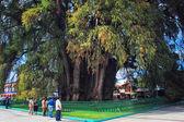 The Tree of Tule — Stock Photo