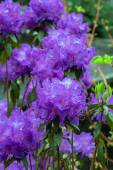 Purple Rhododendron flower in full bloom — Stock Photo