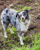 Australian Shepherd dog with white and gray markings — Stock Photo