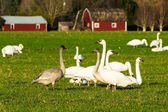 Migratory snow geese feeding on a farm — Stock Photo