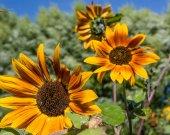 Orange sunflowers blooms in the garden — Stock Photo