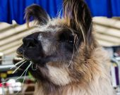 Llama eating or chewing grass — Stock Photo
