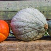 Hubbard squash on display at market — Stock Photo