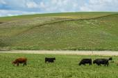 Cattle grazing on a rural ranch — Foto Stock