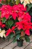 Display of red poinsettia flowers — Stockfoto