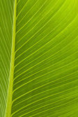 Back lit green leaf with veins — Stock Photo