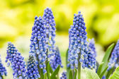 Group of blue grape hyacinth flowers — ストック写真