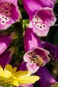 Honey bee on Digitalis purpurea  — Stock Photo
