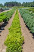 Small pine trees growing in a nursery — Stock Photo