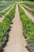 Boxwood plants growing in a nursery — Stock Photo