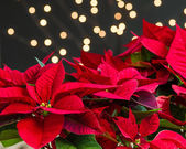 Red poinsettia flowers in bloom dark background — Stock Photo