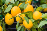 Ripening oranges on small trees — Stock Photo